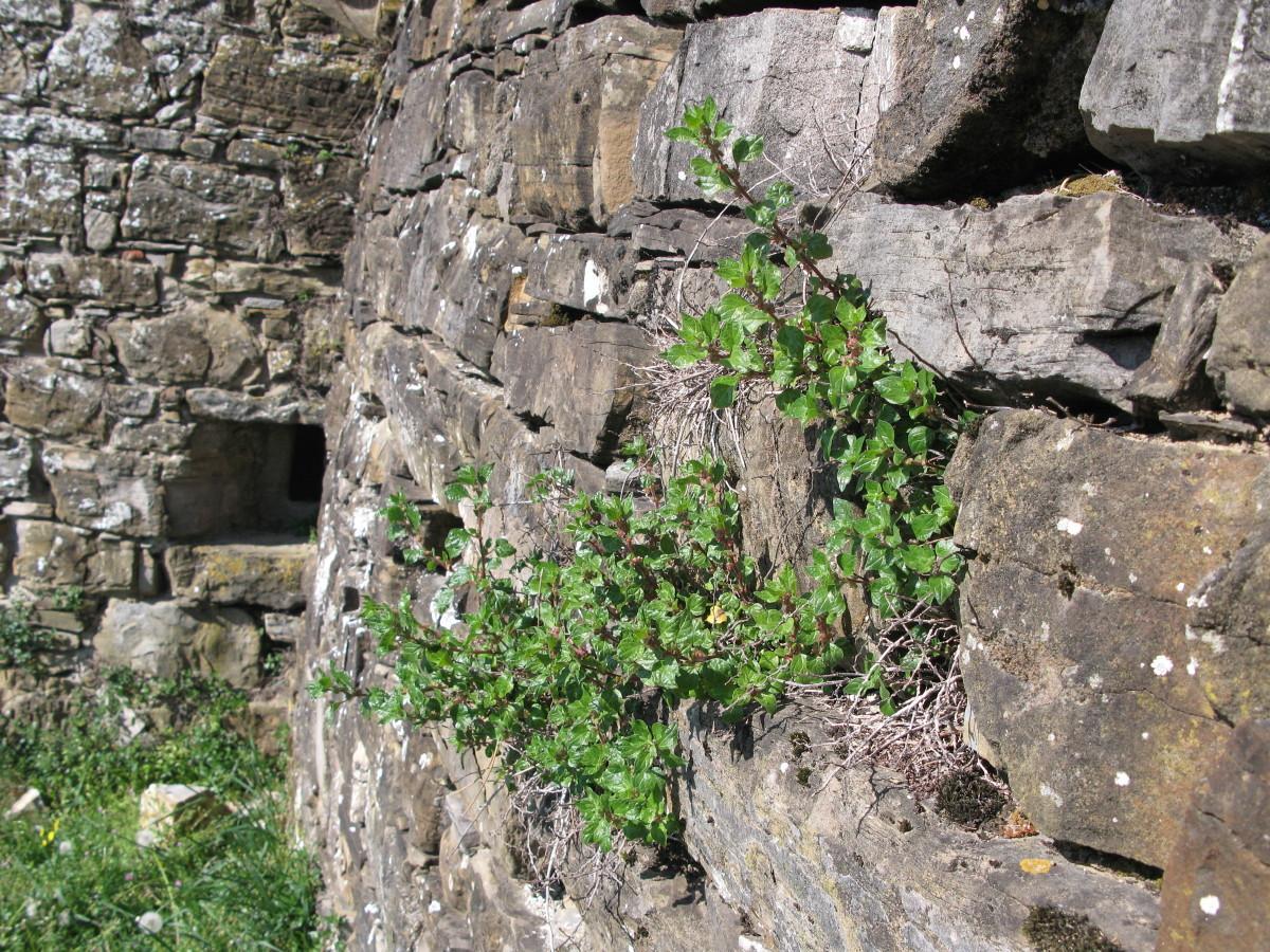 Razrasla krišina (Parietaria judaica)