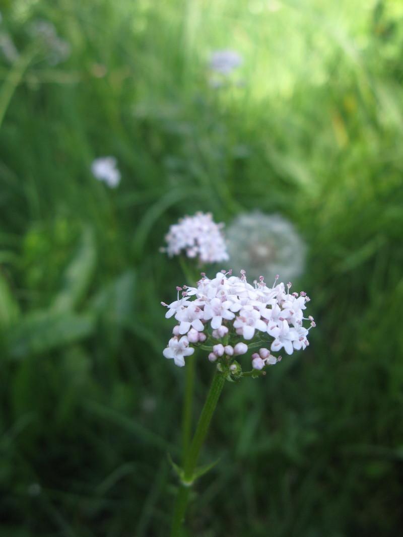 Dvodomna špajka (Valeriana dioica)