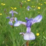Sibirska perunika (Iris sibirica)
