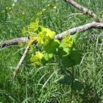 Prerasla repušica (Smyrnium perfoliatum)