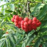 Jerebika (Sorbus aucuparia)
