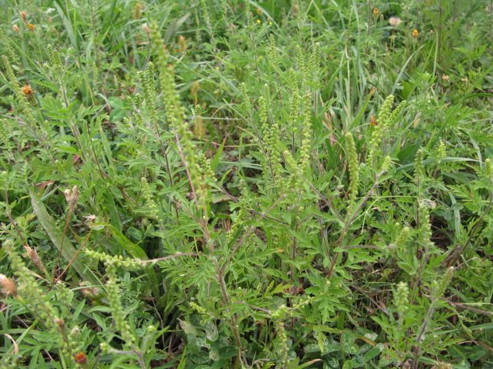 Ambrosija (Ambrosia sp.)