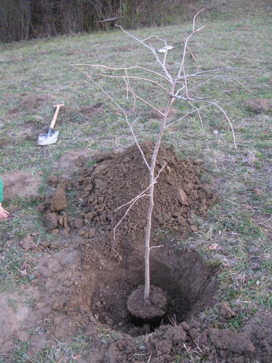 Naše prvo posajeno drevo - krst parcele z ginkom.