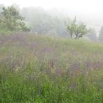 Sosedov travnik je zaradi travniške kadulje kot cvetoče polje sivke.