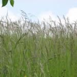 Lepote visokih trav.