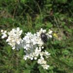 Hrošč, poln cvetnega prahu, na socvetju navadnega oslada (Filipendula vulgaris)