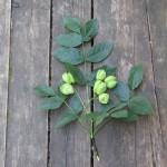 Navadni kloček (Staphylea pinnata)