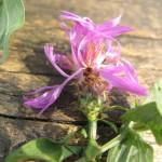 Ozkoluskasti glavinec (Centaurea stenolepis)