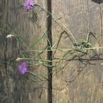 Ozkolistni glavinec (Centaurea pannonica)