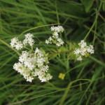 Severna lakota (Galium boreale)