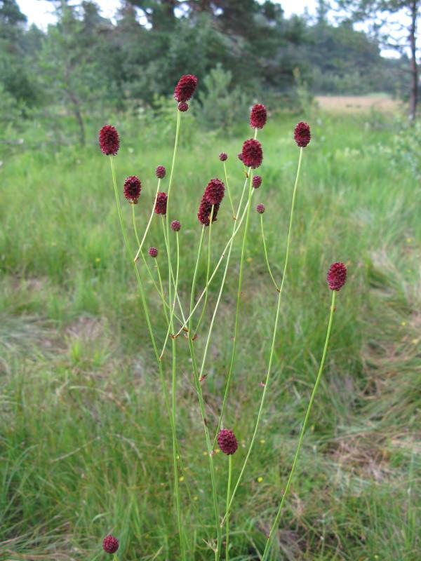 Zdravilna strašnica (Sanguisorba officinalis)