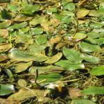 Dristavec (Potamogeton sp.)