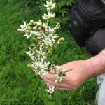 Bela čmerika (Verbascum album subsp. album)
