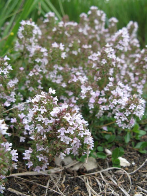 Rana materina dušica (Thymus praecox)