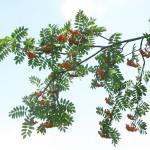 Gojene rastline imajo lepo dostopne plodove, medtem ko divje zrastejo zelo visoko.