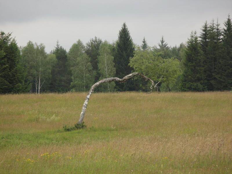 Tihožitje z brezo