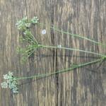 Navadna zdravilka (Libanotis sibirica)