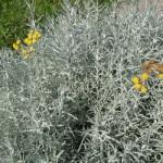 Peščeni smilj (Helichrysum arenarium)