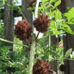 Sladki koren (Glycyrrhiza glabra)