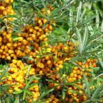 Navadni rakitovec (Hippophae rhamnoides)