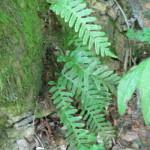 Sladka koreninica (Polypodium sp.)